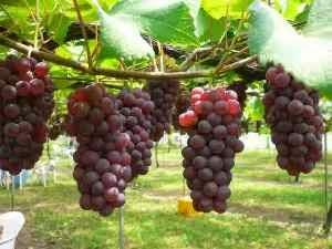 Jenis jenis buah anggur dan kandungan manfaatnya untuk kesehatan