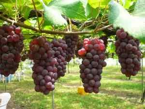 jenis buah anggur dan kandungan manfaatnya