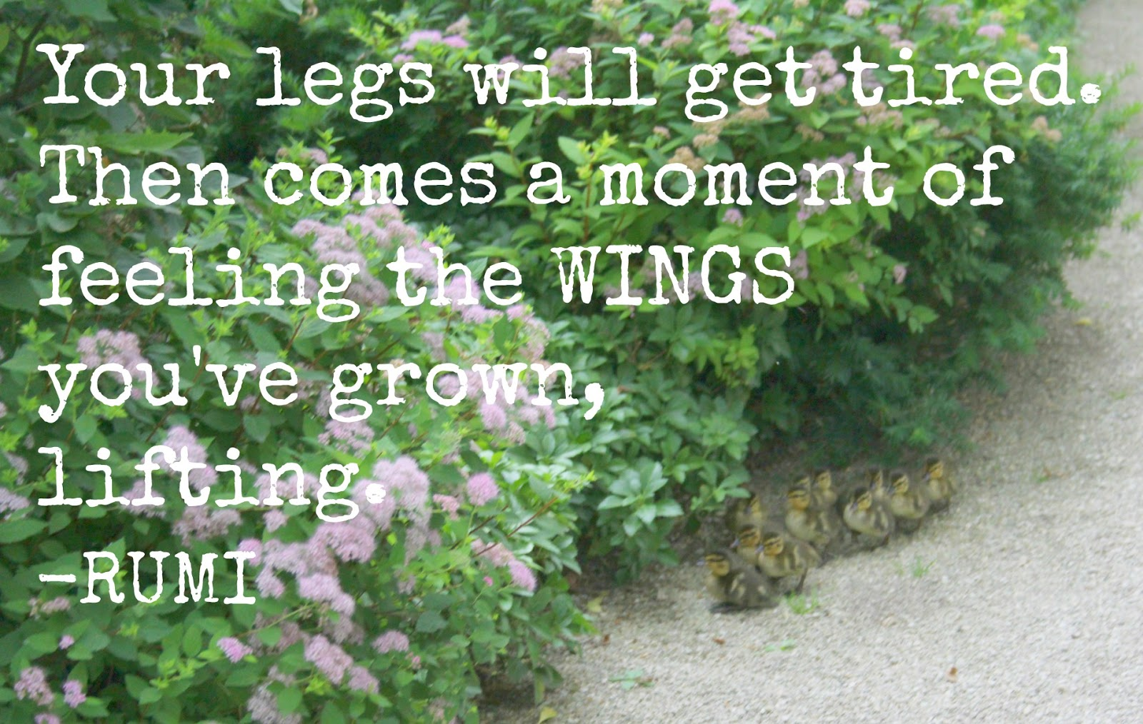Photo of ducklings at a Japanese garden by Hello Lovely Studio and quote by Rumi. Your legs will get tired - then comes a moment of feeling the wings you've grown, lifting. #rumi #encouragement #hellolovelystudio #ducklings