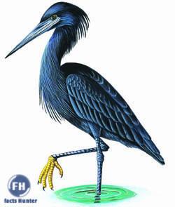 bird s lifestyle black heron