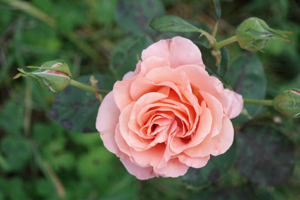 Pink-ish rose
