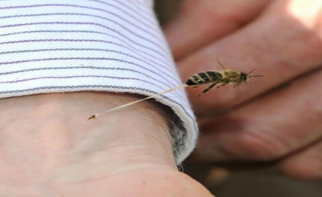 لماذا تموت النحله عندما تعض الإنسان سبحان الله تعرف علي الحقيقة