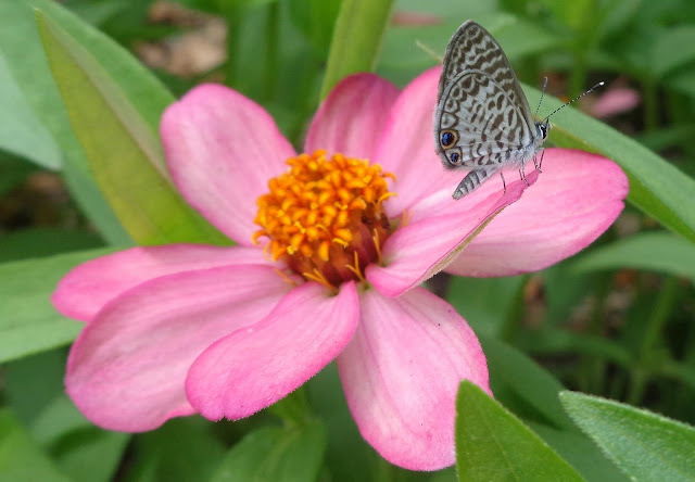 Cassius Blue Butterfly (Leptotes Cassius) on Pink Zinnia