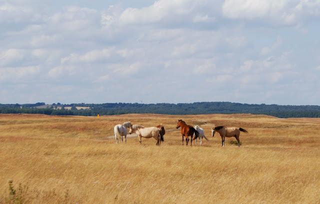 Hästar på Haväng