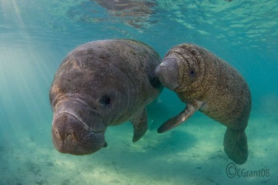Manatee Mom and Baby swimming in Florida