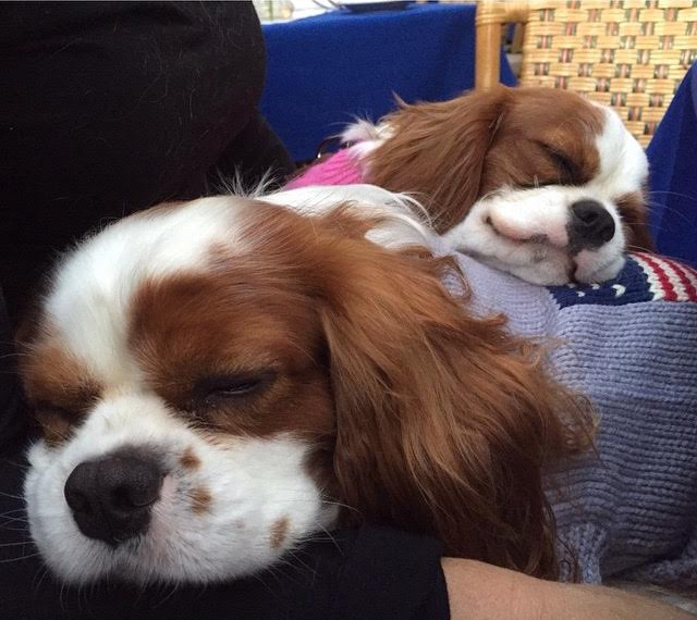 Blenheim Cavalier King Charles Spaniels sleeping in sweaters