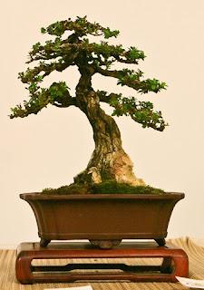 bentuk bonsai