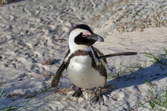 El Pingüino Africano o de Anteojos