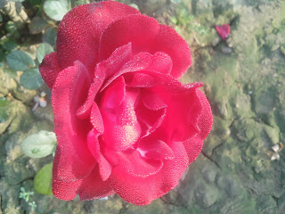 Red Rose Flower with Dew