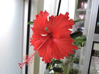 Hybiscus rosa sinensis