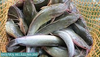 Master Umpan Ikan Lele Kilo Gebrus
