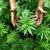 Στον Εισαγγελέα 52χρονος για ναρκωτικά στην Ξάνθη - Βρέθηκε να καλλιεργεί κάνναβη