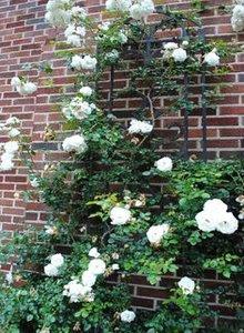 bibit-mawar-rambat-putih.jpg