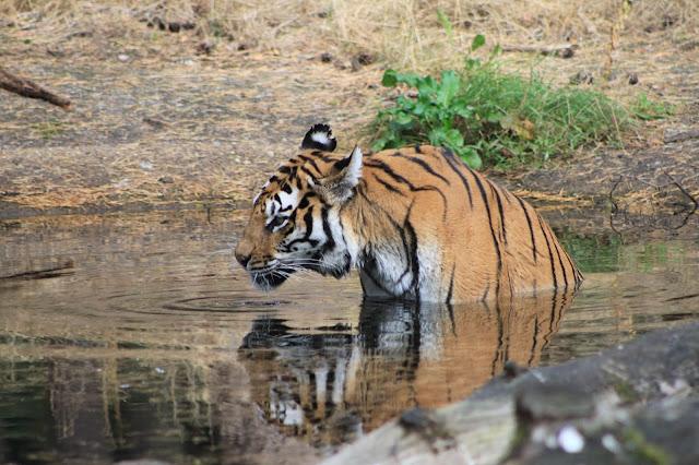 freilaufende Tiger im Serengeti-Park Hodenhagen