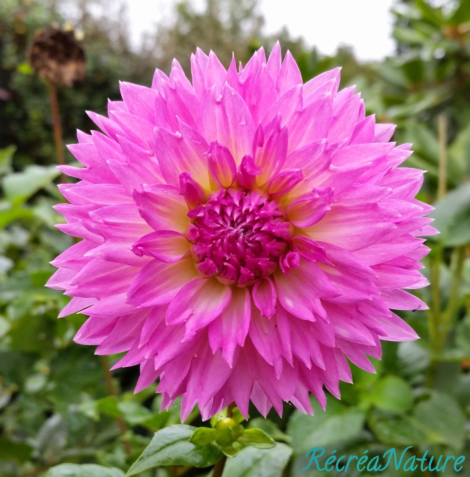 Mes Fleurs D Octobre Dahlias Et Cosmos