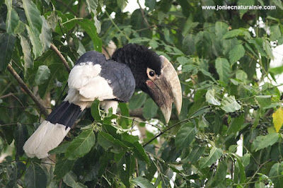 White thighed Hornbill