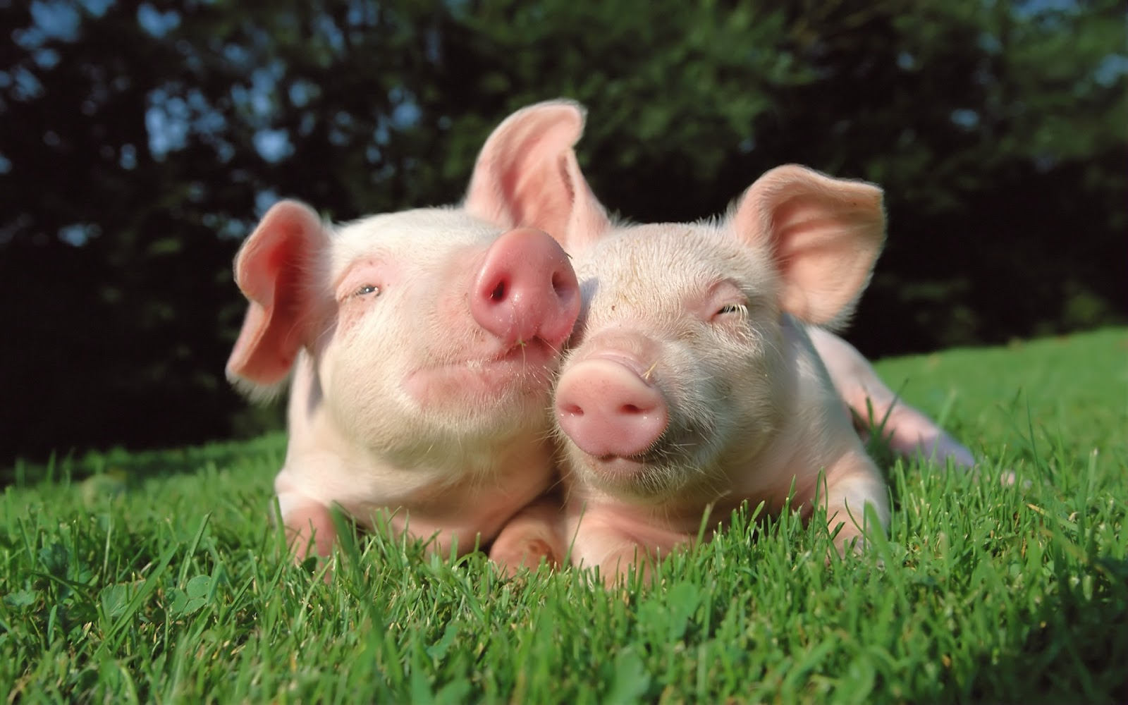 Pigs | Fun Animals Wiki, Videos, Pictures, Stories  Pigs | Fun Anim...