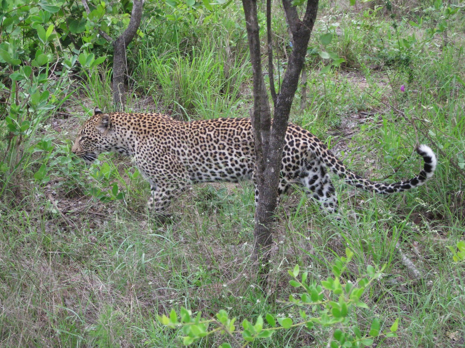 Sabi Sands - Leopard on the move