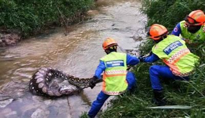 Penangkapan piton dari sungai oleh petugas
