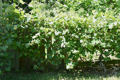 Grape vines have smothered the garden gate.