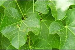 Jarak Leaf (Daun Jarak)