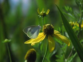 黄色い花に止まったモンシロチョウ 羽根を光に透かして撮影