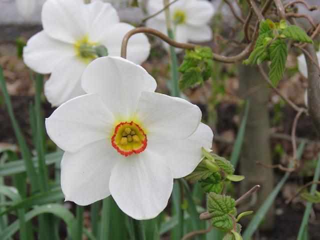 Pinseliljer - narcissus poeticus - Ser pinseliljen midtt i øyet