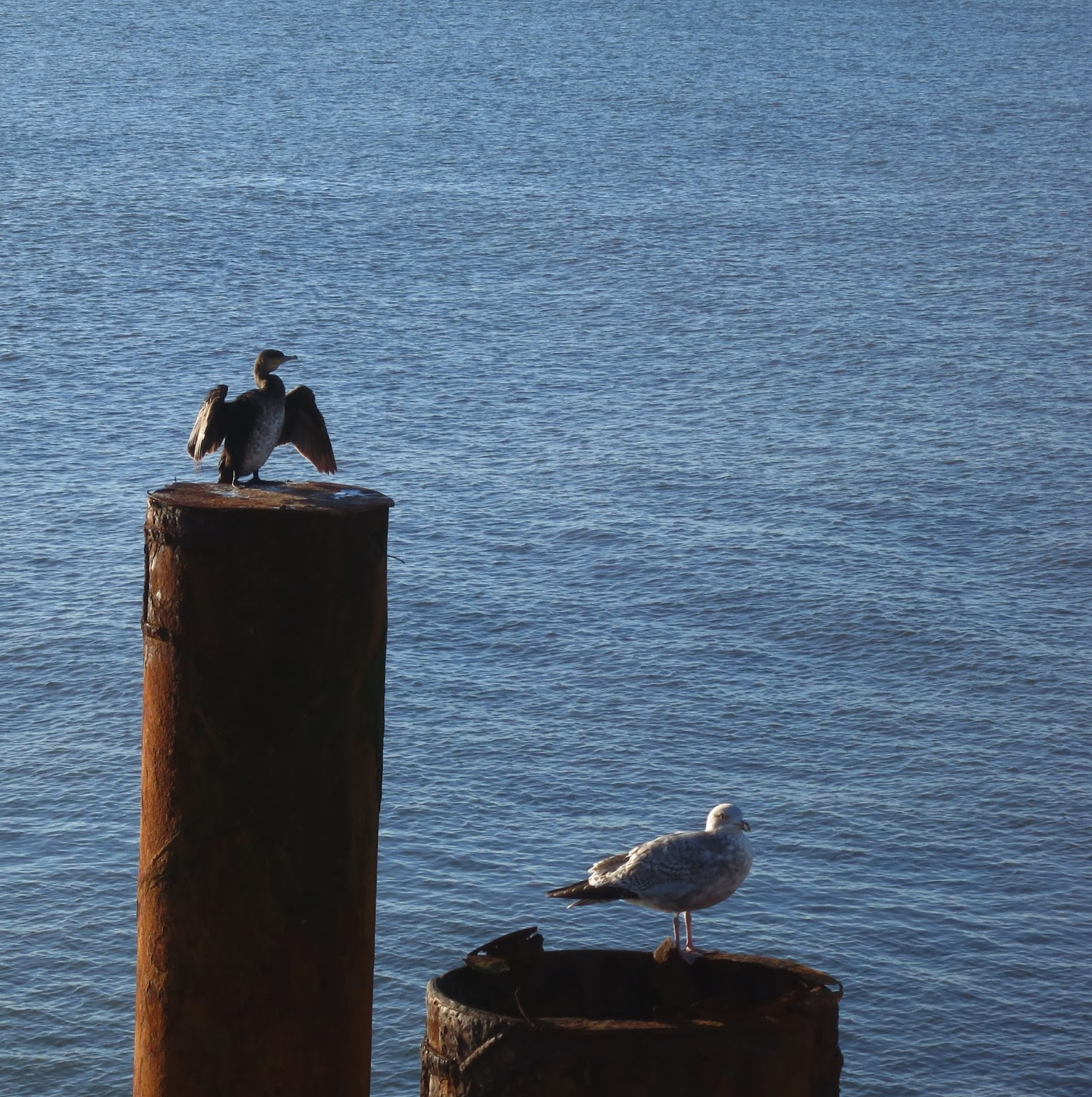 Cormorant (?) and Herring Gull (?) on separate posts in the sea.