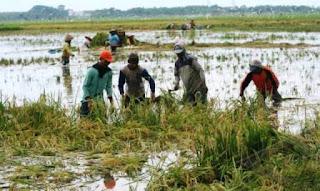 Tanaman Padi Terendam Air, Petani Di Kartoharjo Panen Dini