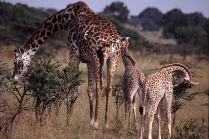 9 Fakta & Informasi tentang Jerapah, Hewan Tertinggi di Dunia