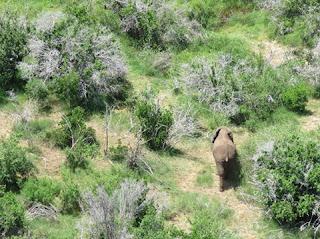 الفيل الصومالي