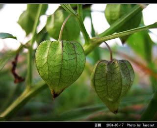 Manfaat dan Khasiat Ciplukan (Physalis Peruviana)