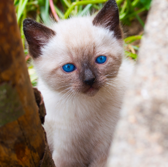An In Depth Look At Siamese Cats