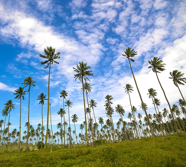 Coconuts plantation, Melanesian islands