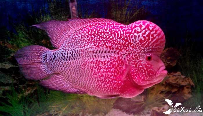 11 Jenis Ikan Louhan Beserta Gambar, Nama, Ciri, dan Harganya
