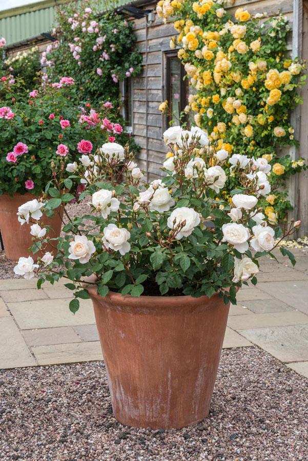 Rosas blancas, rosal ingles en maceta de barro
