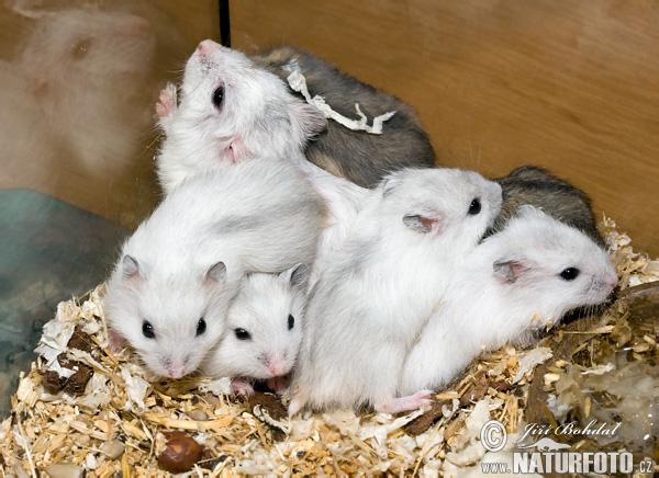 Dwarf Hamster - The Best Animals