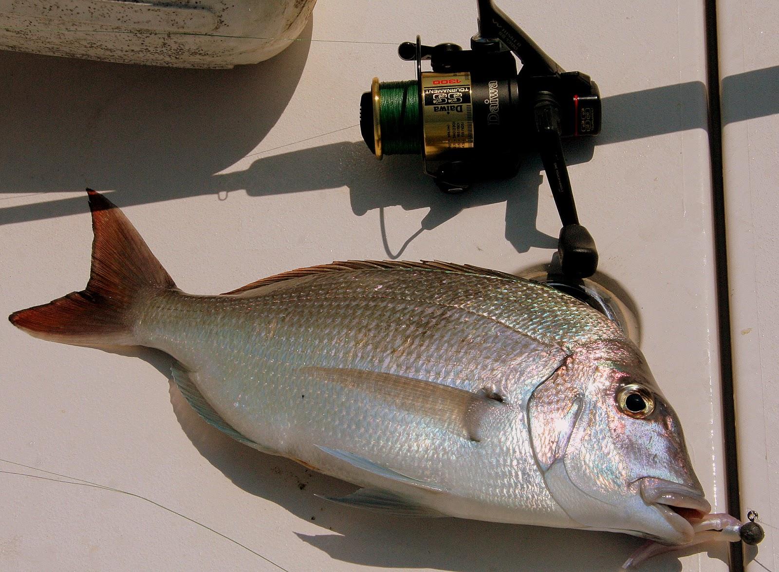Long island big porgies for Ct saltwater fishing regulations