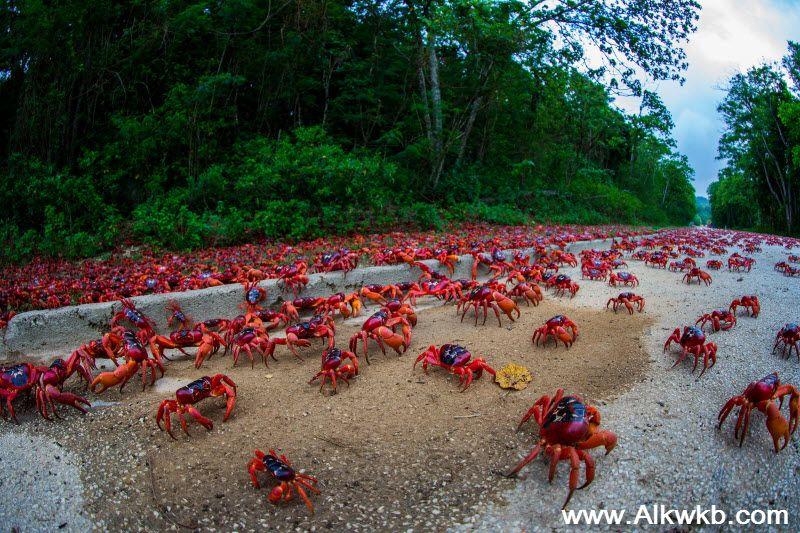 Crabs-Migration