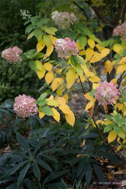 Hydrangea paniculata Limelight, Hortensie Limelight, Lieblingspflanzen