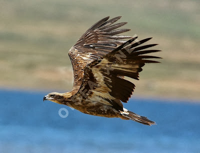 Palla´s fish Eagle