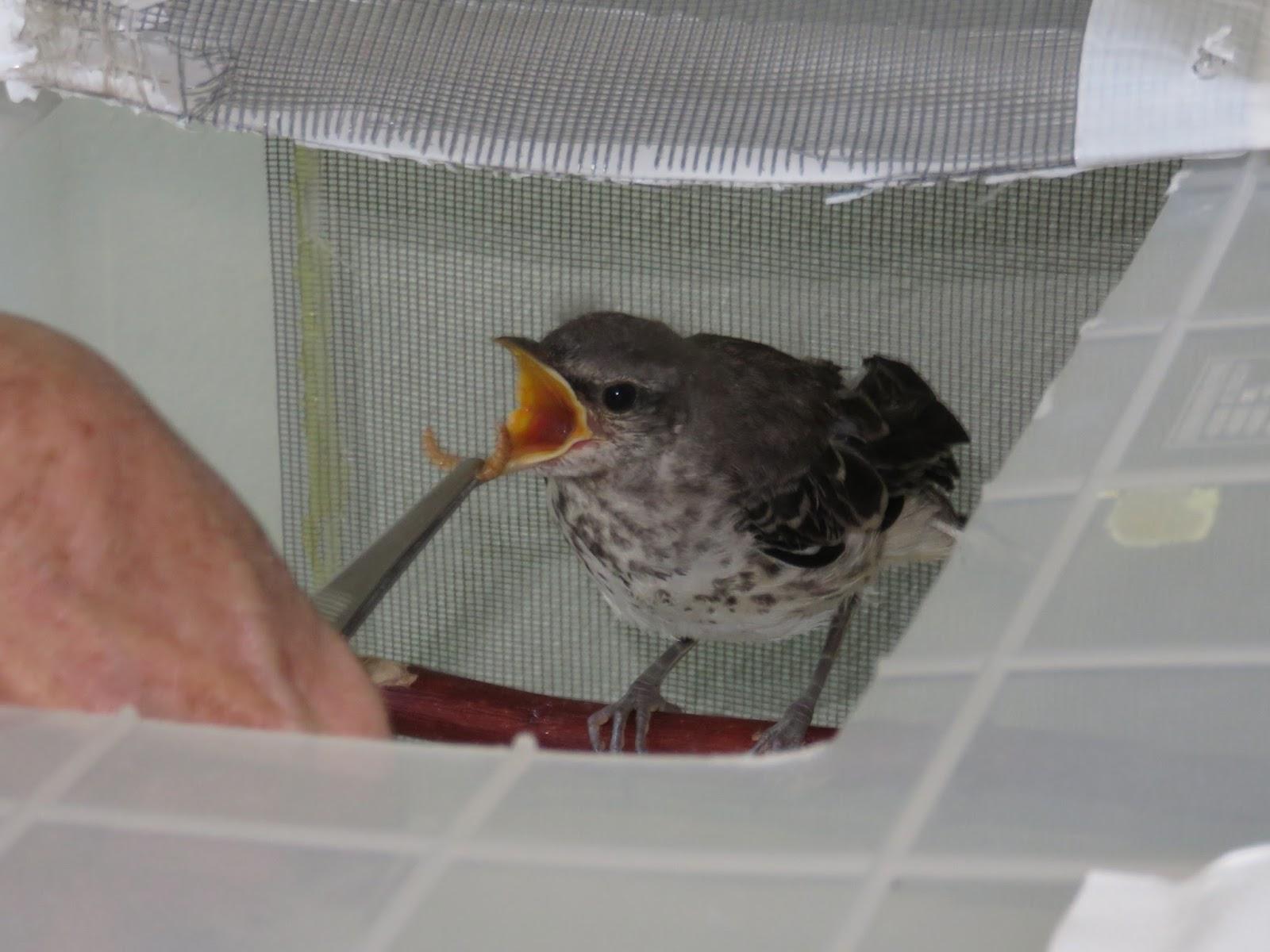 the backyard birder when to rescue baby birds