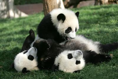 Cuidando osos panda