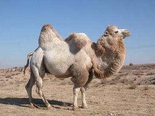 """""""Camello"""""""