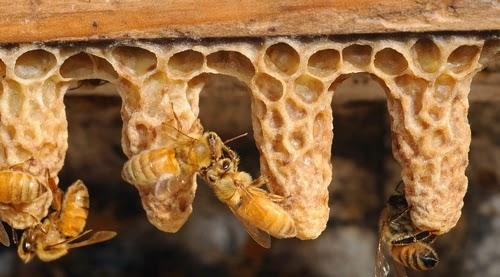 Φτιάχνοντας βασίλισσες χωρίς εμβολιασμό: Η πιο γρήγορη μέθοδος που έγινε γνωστή στους μελισσοκόμους...