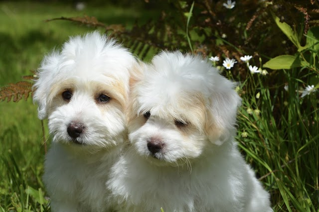Italian Dog Breeds List 2019 - Top 10 Fascinating Italy Dog Breeds
