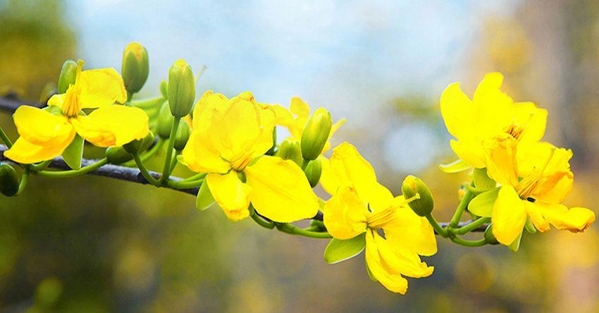 Kinh nghiệm cho hoa mai nở đúng Tết
