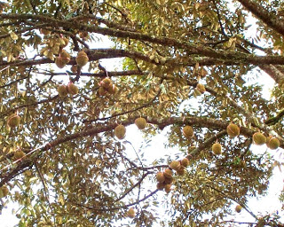 Foto Induk Durian Menoreh Kuning saat Berbuah BY MSTech wa: 0812-1560-7921