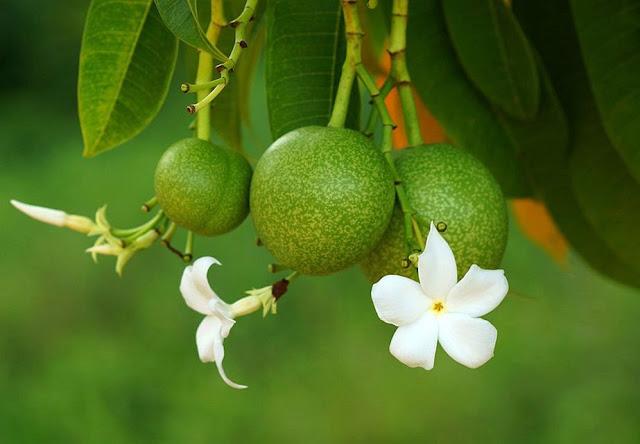 Quả và hoa Mướp Sát - Cerbera odollam - Nguyên liệu làm thuốc Chữa bệnh Tim