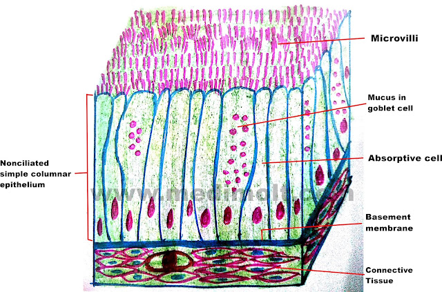 What Is Epithelial Tissue Different Types Of Structure Location And Function